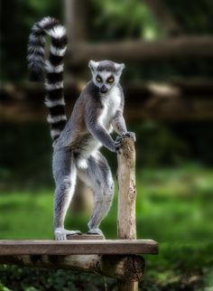 Ring tailed lemur (Lemur catta) by Jean-Claude Sch.