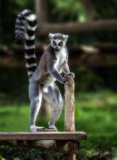 Ring tailed lemur (Lemur catta) by Jean-Claude Sch.