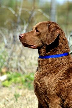 Chesapeake Bay Retriever - best dogs for sure.  Highly intelligent, athletic, loyal.  And live for the water!