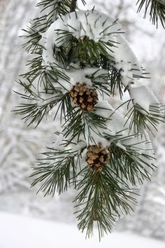 Cocottes de pin sous la neige // Pine comes under the snow