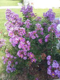 purple crepe