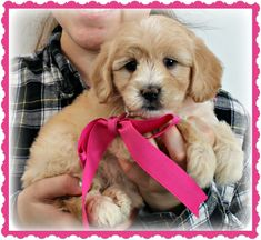 Check out our list of all upcoming Goldendoodle litters and Double Doodle litters below. Please fill out the puppy application and we will contact you. Toy Goldendoodle, Double Doodle, Breads, Doodles, Puppies, Dogs, Animals, Bread Rolls, Cubs