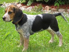 15 Best Blue Tick Beagle Images