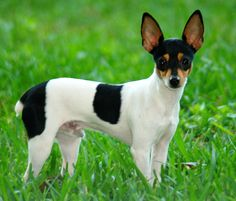 Toy Fox Terrier photos and wallpapers. The beautiful Toy Fox Terrier pictures Rat Terriers, Perros Rat Terrier, Toy Fox Terrier Puppies, Taco Terrier, Perro Fox Terrier, Smooth Fox Terriers, Terrier Dog Breeds, Dachshund Mix, Yorkshire Terrier