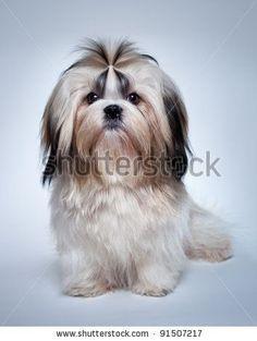 Shih tzu dog on grey background.
