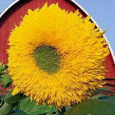 Giant Sungold - 'Teddy Bear' type with fluffy 10-inch flowers atop 6- to 7-foot-tall branching plants