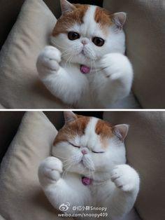 Un chat célèbre sur le web: Snoopy (mais quel nom pour un chat!)
