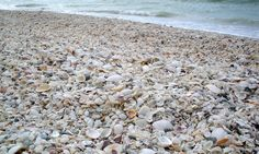 Amazing shells fill the beaches of Marco Island, Florida