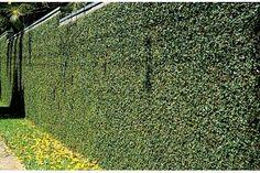 UNHA DE GATO Nome científico: Ficus pumila Família: Moraceae Trepadeira lenhosa de folhagem ornamental, originária da China, Japão e Austrália. Na fase juvenil possui ramos herbáceos ascendentes e aderentes a suportes, com folhas pequenas e é ideal para cobrir muros, paredes e colunas. Na fase adulta os ramos tornam-se frutíferos, lenhosos, desgarrados e com folhas grandes. Poda frequente mantém-na sempre jovem. Tolera o frio Ficus Pumila, Landscape And Urbanism, Entrance Gates, Creepers, Garden Inspiration, Exterior Design, Gazebo, Architecture Design, Garden Design
