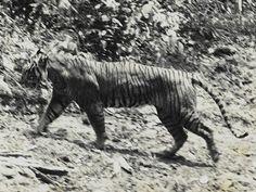 Javan Tiger (Extinct since ~1970s)