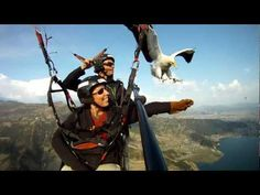 """Parahawking in Nepal - Amazing! - YouTube See also http://abcnews.go.com/blogs/lifestyle/2013/06/parahawking-the-adventure-of-paragliding-with-vultures-in-nepal : """"Some species of vultures are nearly extinct in Nepal. Tens of thousands have died in the last decade because of an inexpensive anti-inflammatory drug given mostly to cattle. When the cattle die, some 200 vultures feast on their remains and within 24 hours every single vulture develops kidney failure and dies... This is all part of…"""