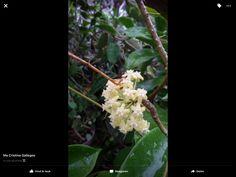 Typhoon Nona did not stop the Hoya vicenciona to bloom