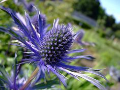 Scottish blue thistle-twist Scotland is famous for it's wonderful bagpipes & blue thistle