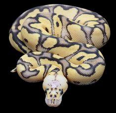 FireFly Clown Ball Python