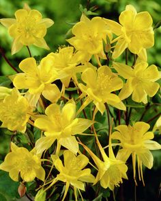 Yellow Columbine 'Yellow Queen' • Aquilegia chrysantha 'Yellow Queen' • Golden Columbine 'Yellow Queen' • columbine 'Yellow Queen', granny's bonnet 'Yellow Queen' • Plants & Flowers • 99Roots.com