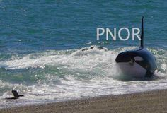 Getting back in the Water. Punta Norte Orca Research