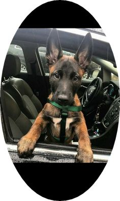 Some Helpful Ideas For Training Your Dog. Loving your dog does not mean you are willing to let him go hog wild on your possessions. That said, your dog doesn't feel the same way. Berger Malinois, Belgian Malinois Puppies, Cute Puppies, Cute Dogs, Dogs And Puppies, Doggies, Belgian Shepherd, German Shepherd Puppies, German Shepherds