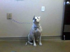 CASH-ID#A679205    My name is CASH.    I am a spayed female, white and gray Pit Bull Terrier.    The shelter staff think I am about 2 years old.    I have been at the shelter since Oct 29, 2012.