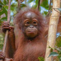 Topan: Adoptions - Borneo Orangutan Survival Australia Borneo Orangutan, Baby Orangutan, Chimpanzee, Ape Monkey, Mountain Gorilla, List Of Animals, Animal Rescue Site, Animal Species, Cute Animal Pictures