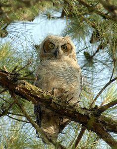 ✮ Houston Barn Owl