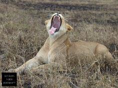 Lioness yawning...!    South Africa safari