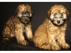 Soft Coated Wheaten Terrier pups