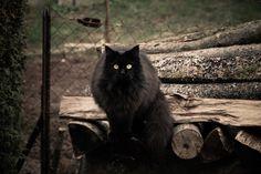 Black cat  Kismy