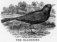 Thomas Bewick Collection: a collection of 33 volumes contains works by the English naturalist and wood engraver Thomas Bewick. Some of the titles in this collections include his General History of Quadrapeds and History of British Birds. Also included in the collections are letters and other printed materials containing Bewick's engravings.