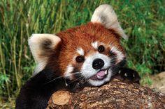 可愛すぎる レッサーパンダ Red Panda