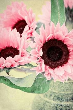 pink sunflowers <3
