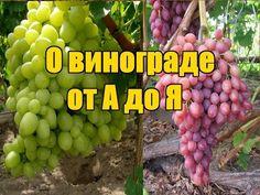 Выращивания винограда - пошаговая инструкция / Подробное поэтапное видео от А до Я - YouTube