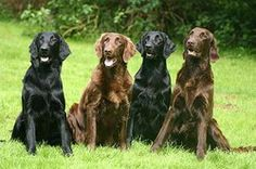 Flat Coated Retriever i will have two of these when i have my own place ^_^