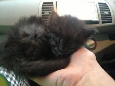 KITTEN RESCUED FROM ROADSIDE STUNS RESCUERS WITH HIS MAGNIFICENT NEW MANE!