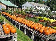 Fall pumpkins and mums