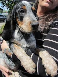 Bluetick Coonhound Dog in Winter Park, FL. Abner is an adorable Bluetick Coonhound pup. This pup is super sweet and friendly. Hounds make excellent family dogs.