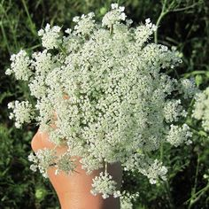 Queen Anne's Lace attracts good insects to your garden - Common Sense Homesteading