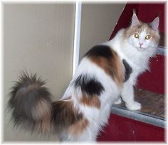 dilute calico Maine Coon Cat - looks so much like my sweet Starr.