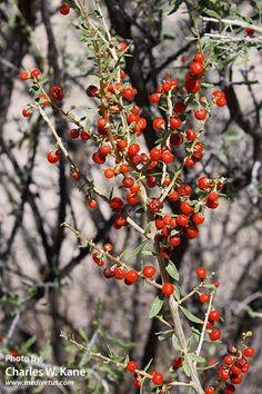 wolfberry sonoran desert - Google Search