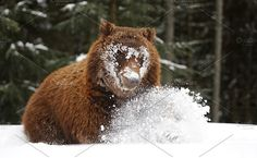 Bear Photos Big brown bear in winter forest by byrdyak
