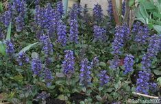 Ajuga (Bugle Weed).  Hardy perennial used for ground cover.  Folk tale that its flowers can cause a fire if brought into the house (a belief still held in one district of Germany).  OK.  Medicinally today used in homeopathy for throat irritations.  We have a lot of clay, but these plants thrive because they like their roots wet all the time.