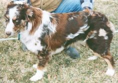 Harlequin and Tweed a harlequin red merle. His basic body color is a rich liver, and he has at least 3 distinct shades of merle. The color is diluted to. Australian Shepherd Husky, Australian Shepherds, Aussie Shepherd, Shepherd Puppies, Beautiful Dogs, Animals Beautiful, Cute Animals, Herding Dogs, Purebred Dogs