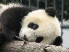 magicalnaturetour:        Panda Kindergarten by jd-pandas on Flickr. :)