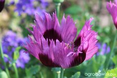 Galeria zdjęć - Ogrody angielskie - Ogród Diany Grenfell - Ogrodowisko