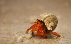 Hermit crab -