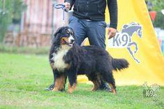 Satılık Eğitimli Bernese Dağ Köpeği