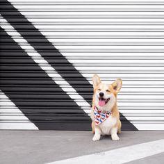 Pembroke Welsh Corgi is so cute. Love them so much.#PembrokeWelshCorgi #dogs