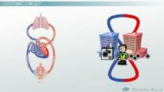 Biology 105: Anatomy & Physiology Course - Online Video Lessons | Education Portal