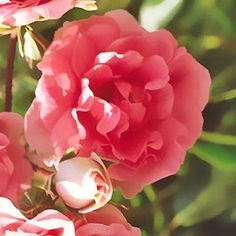 Rosier tige pleureur 'Schuss®' Meiliaxi - Plantes et Jardins