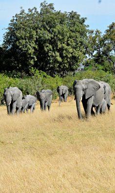 An Elephant Herd in Botswana. Happy Elephant, Asian Elephant, Elephant Love, All About Elephants, Save The Elephants, Animals Are Beautiful People, Beautiful Creatures, Elephas Maximus, Elephant Pictures