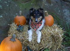Sheltie Nation | Sheltie Nation - Fall Harvest Sheltie...